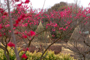 雪吊りと梅の花